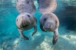 Manatee tours in Homosassa and Crystal River