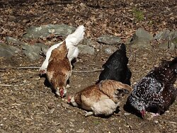 ME - MAPLE MOON FARM - CHICKENS EATING UNPOPPED CORN KERNELS