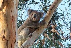 Koalas in the caravan park