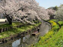 新河岸川の桜並木