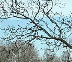 Blue Jay sitting in the tree.  He was very blue, but you can't tell from this pic.