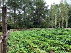 Farm fields, sweet potatoes growing