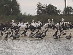 Brown & White Pelicans and cormorants on Seahorse Key, FL