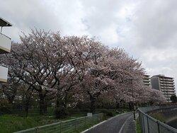 都営金森第6アパート付近の桜🌸