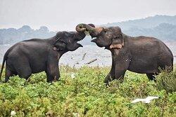 Elephants at Kaudulla National Park