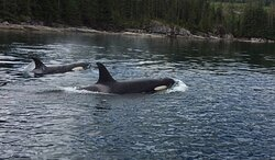 Sometimes the Orcas show up for lunch and give us a show