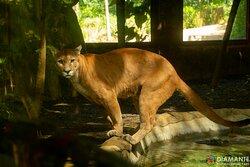 Puma - Diamante Animal Sanctuary