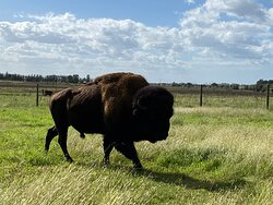 Bison experience