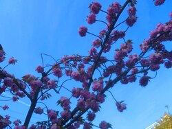 八重桜と青空