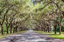 Savannah's sweeping Live Oak Trees are a thing of beauty