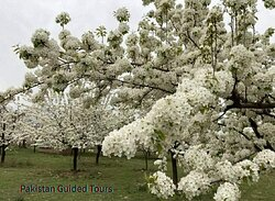 Cherry blossoms(Sakura) signals the end of chilly winter weather inHunza, Nagar and in the othervalleysof Gilgit-Baltistan.PGT