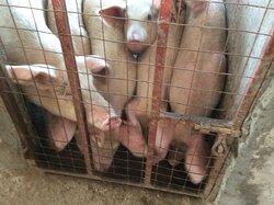 Pig firm
