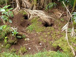 Providence petrel burrows. Mt Gower summit