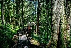 巨木群栈道