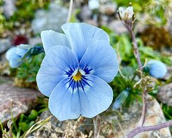 Pansy - named from French word Penser( to think) representing sympathy remembrance, love, admiration & consideration. Blue pansy for loyalty & honesty.