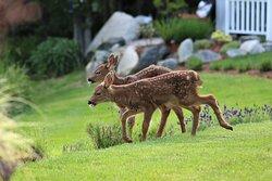 Twin Fawns enjoying the grounds