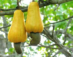 The cashew tree is a tropical evergreen tree that produces the cashew seed and the cashew apple pseudofruit. The tree can grow as high as 14 m, but the dwarf cultivars, growing up to 6 m, prove more profitable, with earlier maturity and greater yields.