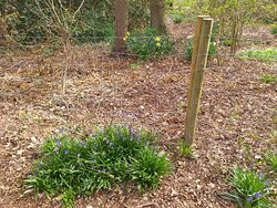 Bluebells and daffodils in North Cliffe Wood Nature Reserve