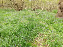 Bluebells in North Cliffe Wood Nature Reserve