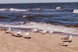 Beach on Assateague, Plovers