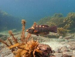 Banded Wrasse amongst Kelp.