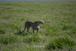 Cheetah wild cat faster runner in the wilderness inside Serengeti, Ngorongoro Park.