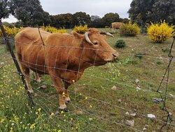 Las vacas plácidamente pastando en el campo.