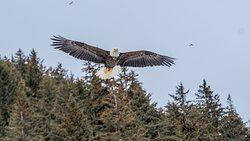 Eagles at Seldovia, Alaska