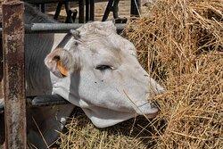 Una vitello di vacca maremmana dell'allevamento di bovini