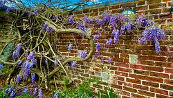 Wisteria growing on an old wall. We sat in front enjoying a coffee and the beautiful scent