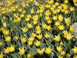 Tulips Mozirski gaj 1