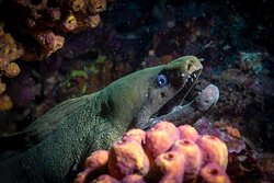 Panamic green moray eels constantly opens and closes its mouth--an action required for respiration, not a threat , anyway they are not smiling either so keep a visual distance is always idea. Los Arcos . . . . . . . #BanderasScuba #Banderasscubarepublic #PVScuba #PADI #PVPADI #PADI5star #ScubaVallarta #pvscubadiving #PuertoVallarta #BuceoPuertoVallarta #vivanaturamexico #vivanatura #divepv #lovenature #visitpv #reeflife #easternpacific