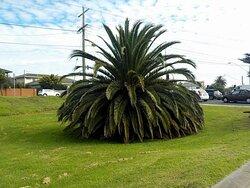 a very short palm tree