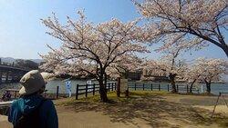 瀬田唐橋(滋賀県大津市) ⇒ 日本三大名橋の一つで満開の桜の中を石山寺から瀬田川を周回5kmウォーキング