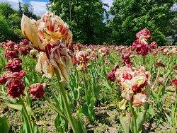 tulipani secchi