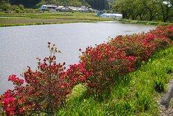 水田の風景とさつきのマッチアップ