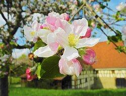 Apfelblüte im Hohenloher Freilandmuseum