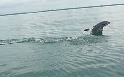 Bottlenose Dolphins playing near Mexico Beach, FL