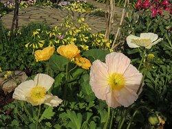花壇 ケシの花