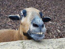 Lachende Ziege