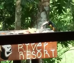 View from dining area. Toucanette eating fruit .