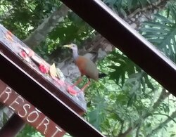Another view from Dining Area. I think it's a Russet Naped Wood Rail.