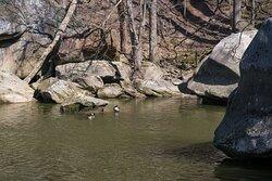 Geese Enjoying Pool along the Black River