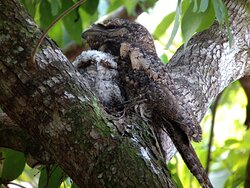 Mama and fledgling Papuan Frogmouth, sitting in our trees