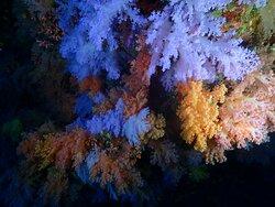 Soft Coral garden of Maalhos Thilla