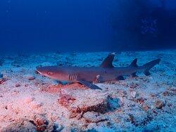 White tip Sharks of Rasdhoo Diving
