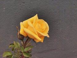 Rosa amarilla.