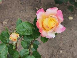 Una bonita rosa.