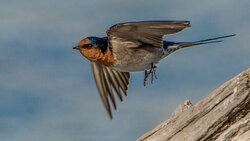 Welcome Swallow taking off