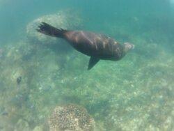 Bonita experiencia de nadar con lobos marinos en arrecife de san rafaelito. Con cleostours